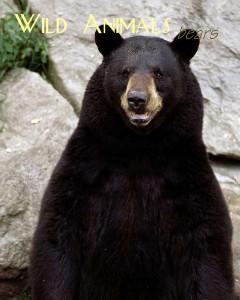 Wild Animals - Bears