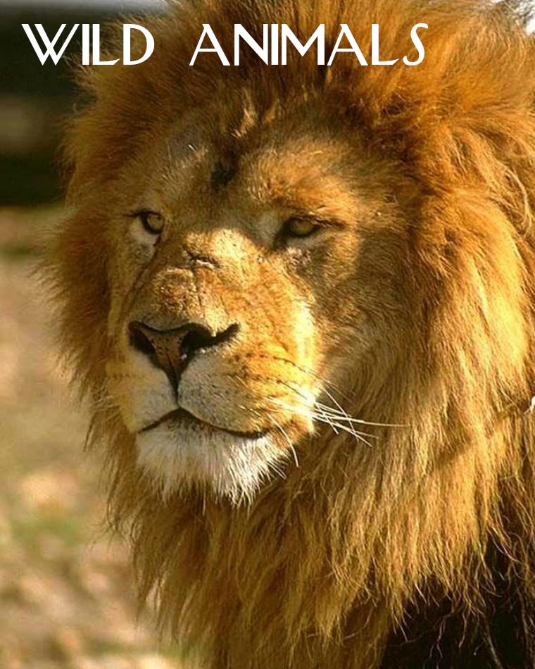 Wild Animals - Lions Wild Animals - Lions