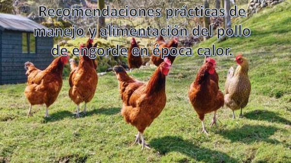 Recomendaciones prácticas de manejo y alimentación del pollo de engor Recomendaciones  prácticas de manejo y alimentació