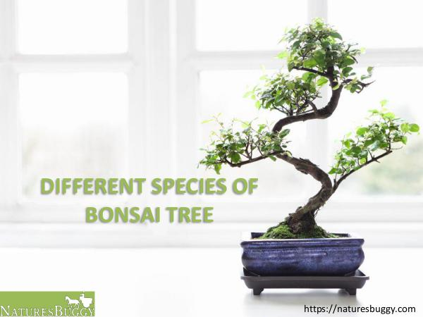 Different Species of Bonsai Tree Different Species of Bonsai Tree