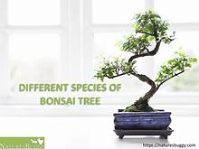 Different Species of Bonsai Tree